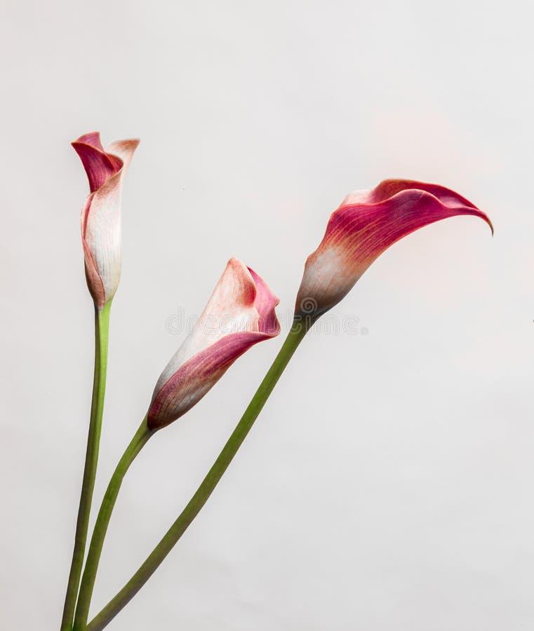 Röd tre Calla Lillies på ljus bakgrund fotografering för bildbyråer