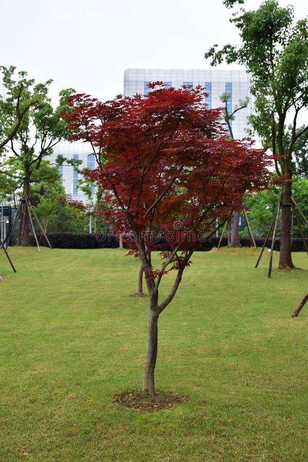 röd tree fotografering för bildbyråer