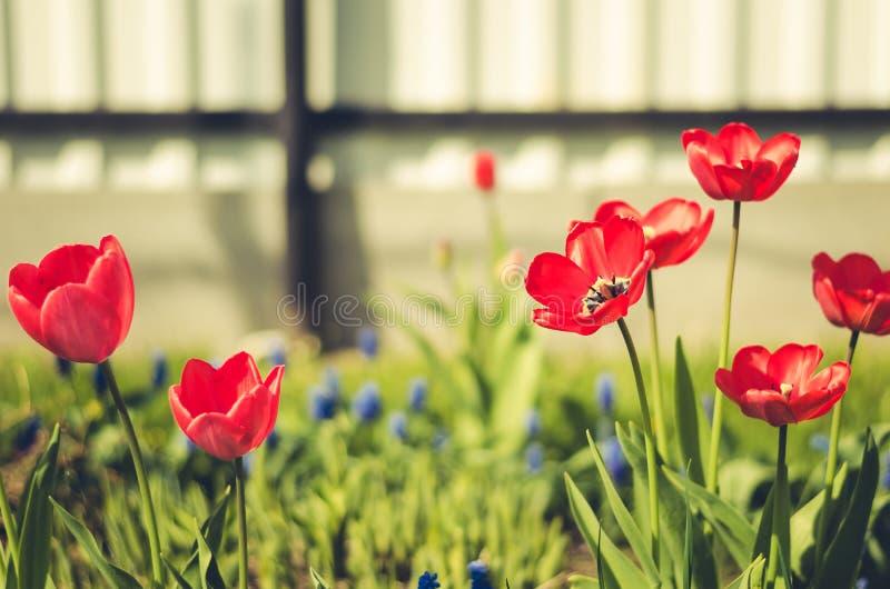 röd tulpan för fältblommor Härlig naturplats med att blomma röda tulip/sommarblommor härlig äng yellow för fjäder för äng för bak royaltyfria bilder