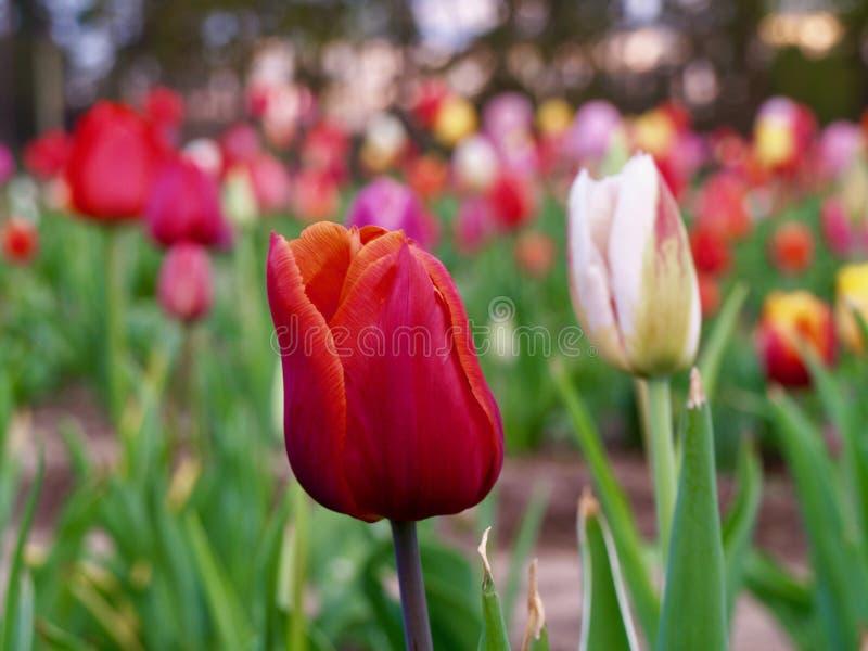 Röd tulpan i ett fält av tulpan arkivbild