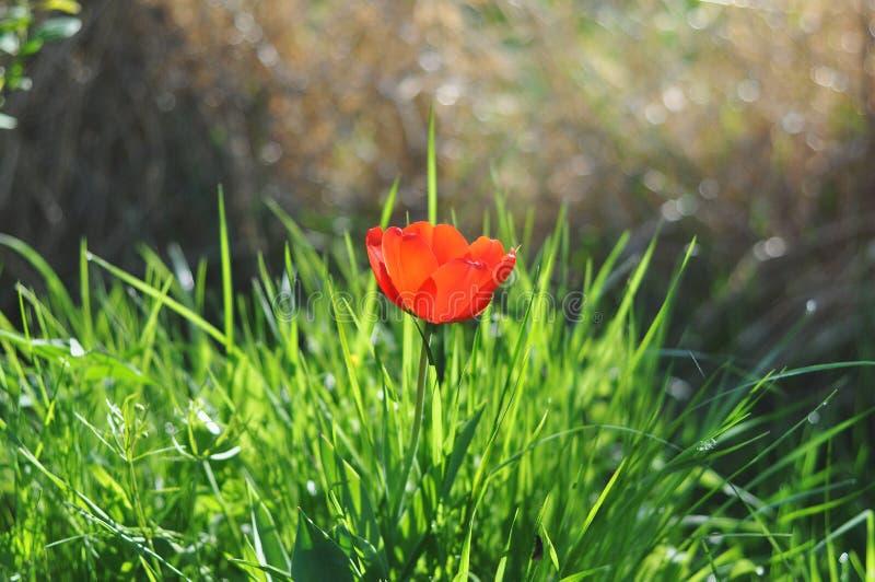 Röd tulpan i grönt gräs royaltyfri fotografi