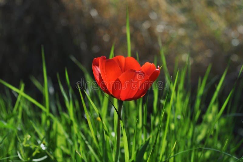 Röd tulpan i grönt gräs arkivfoton