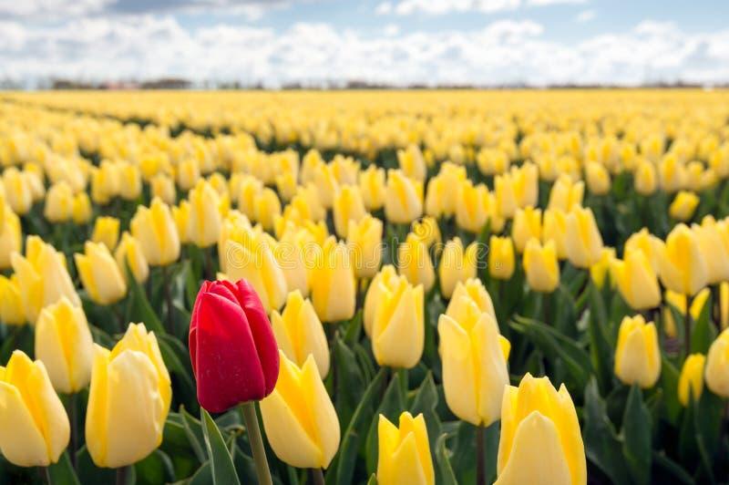 Röd tulpan längs ett fält med många gula royaltyfri foto