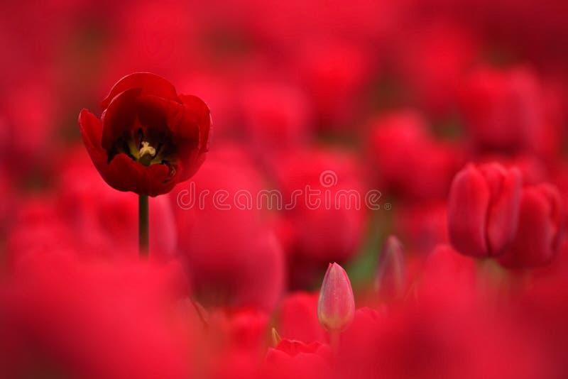 Röd tulpanblom, rött härligt tulpanfält i vårtid med solljus, blom- bakgrund, Holland, Nederländerna arkivfoton