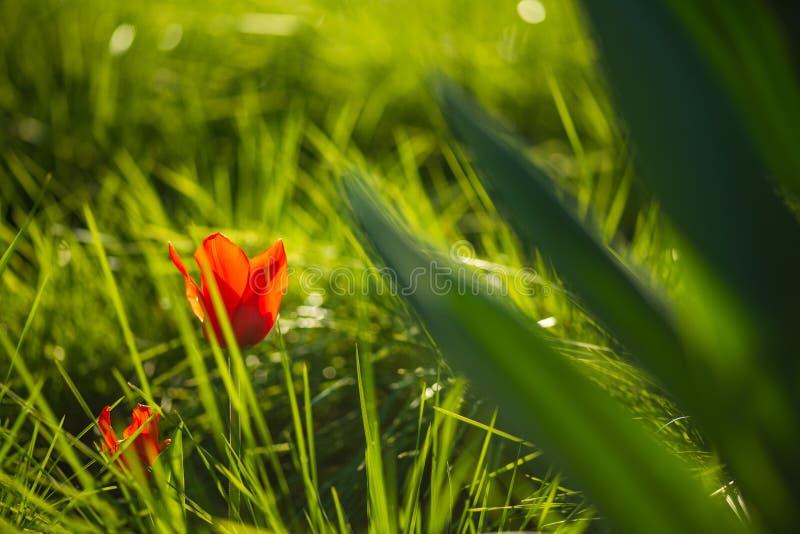 Röd tulpanblomma på gräsmattan för grönt gräs Extrem suddig bakgrund för vår makroskott för selektiv fokus med grund DOF fotografering för bildbyråer