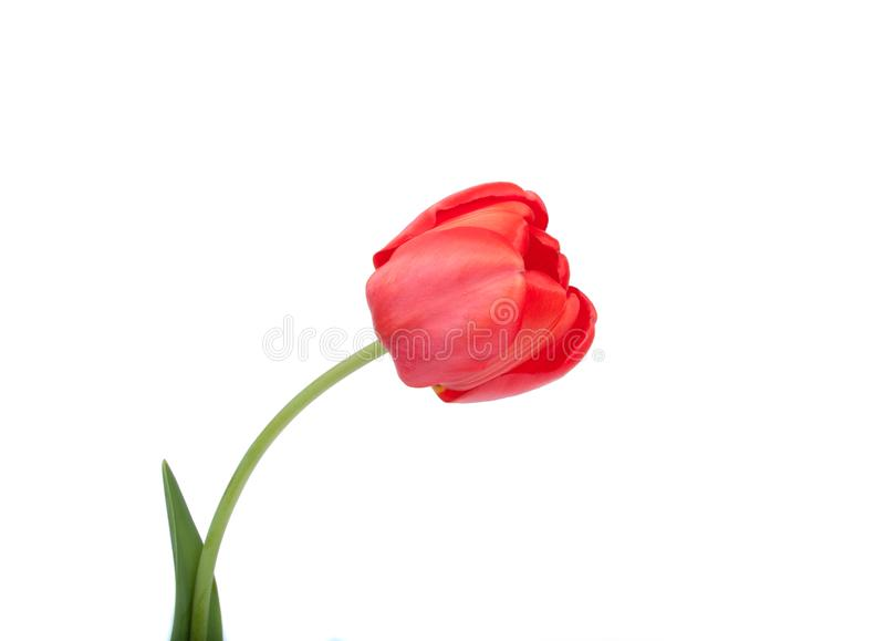 Röd tulpanskönhetblomma fotografering för bildbyråer