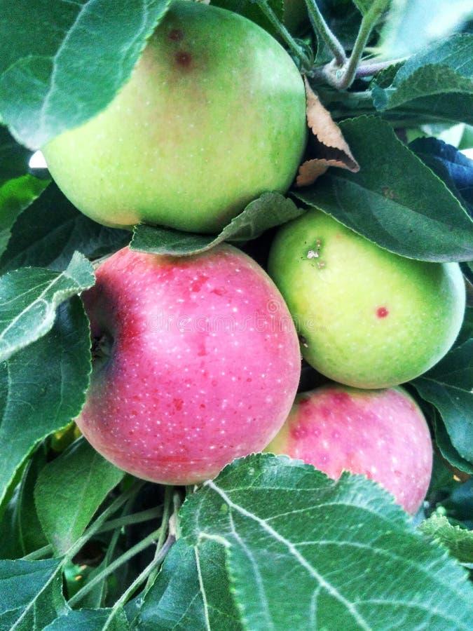 Röd-vände mot äpplen arkivbilder
