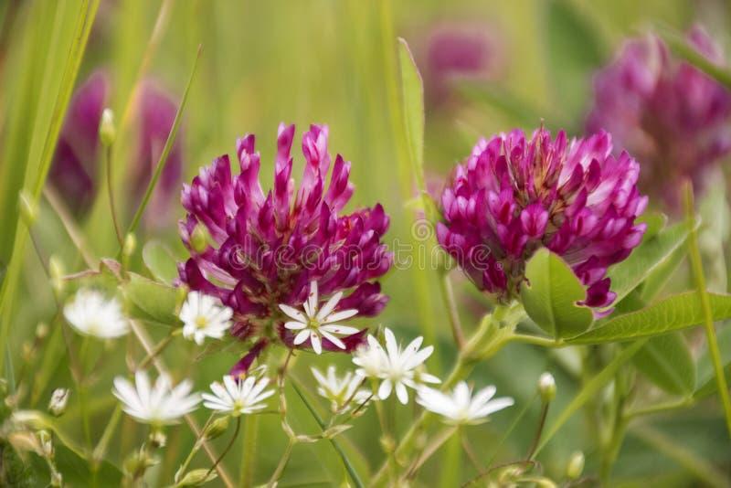 Röd växt av släktet Trifolium eller Trifolium Pratense royaltyfri fotografi