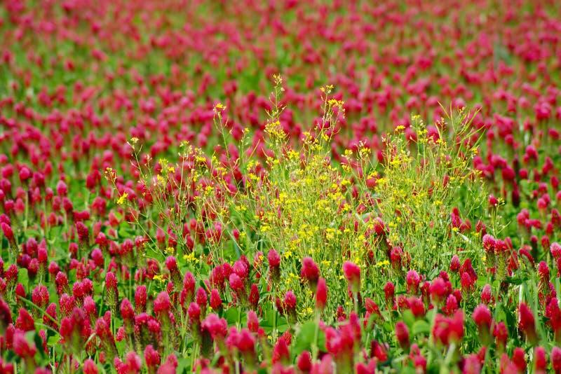 Röd växt av släktet Trifolium och gulingCanola arkivfoton