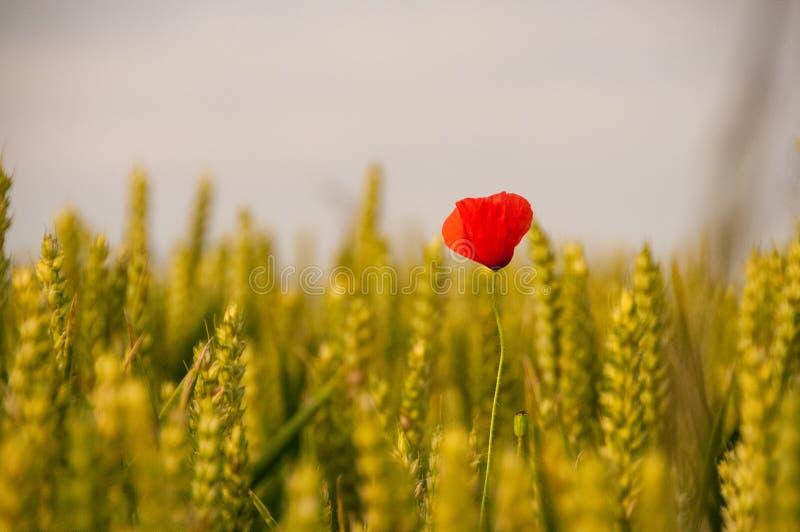 Röd vallmo i ett vetefält arkivbilder