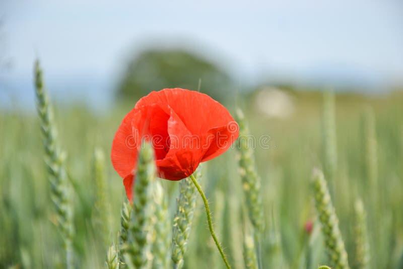 Röd vallmo & x28; Papaverrhoeas& x29; i vetefält på vårtid Havre steg, den gemensamma vallmo, den Flanders vallmo, coquelicot, rö arkivbild