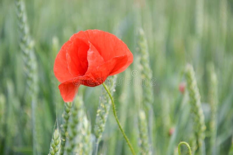 Röd vallmo & x28; Papaverrhoeas& x29; i vetefält på vårtid Havre steg, den gemensamma vallmo, den Flanders vallmo, coquelicot, rö royaltyfri bild