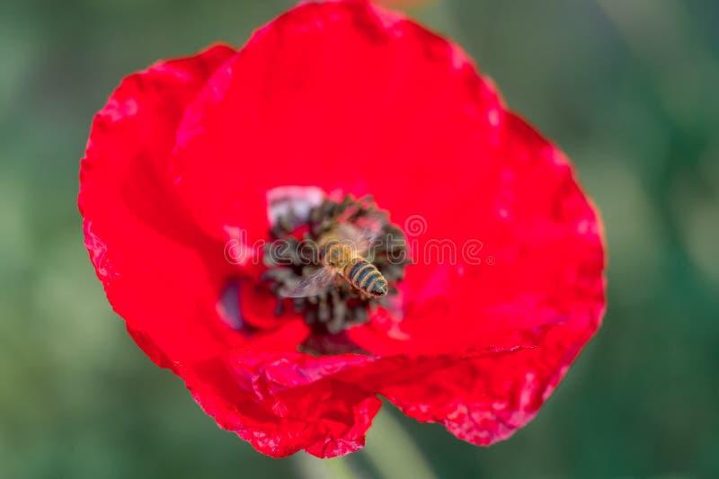 Röd vallmo utanför i trädgård med biet arkivbilder