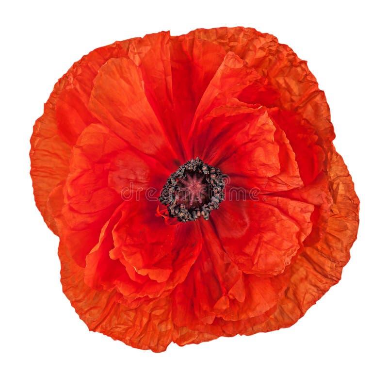 Röd vallmoblomma för Closeup royaltyfri foto