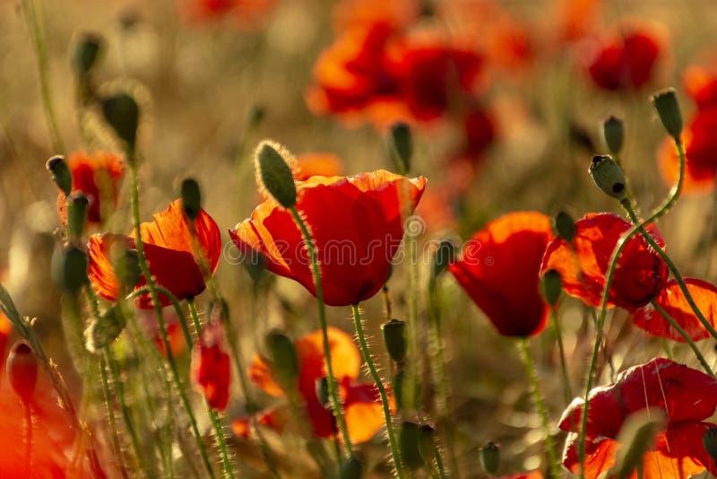 Röd vallmoblomma in i ett vetefält på solnedgången Vår tala royaltyfria foton