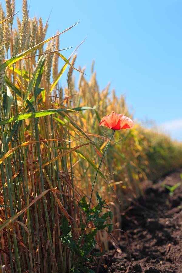 Röd vallmoblomma på vetefältet arkivfoto