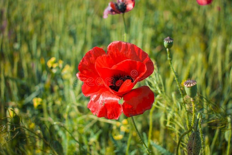 Röd vallmonärbild mot ett vetefält royaltyfria foton