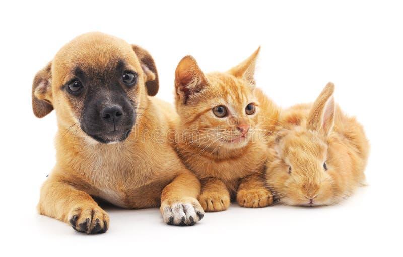 Röd valp, kattunge och kanin royaltyfri foto