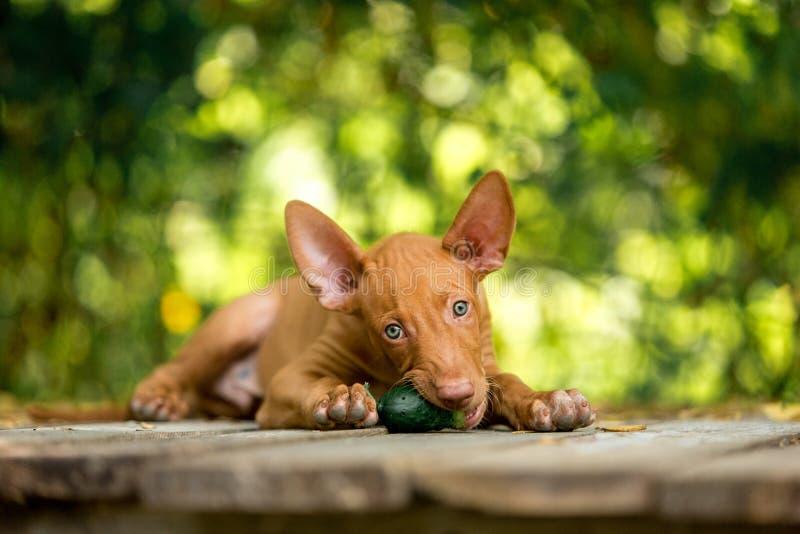 Röd valppharaohs röda hund i gullig ätagurka för natur royaltyfri foto