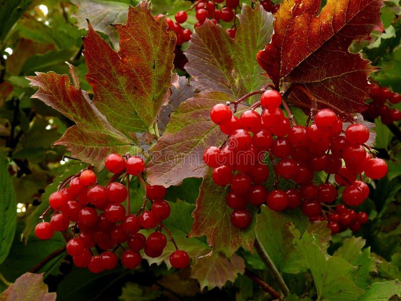 Röd viburnum arkivfoton