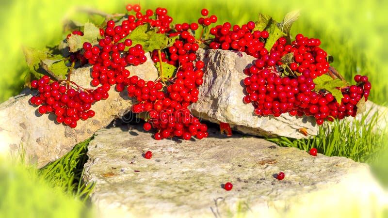 Röd viburnum arkivfoto
