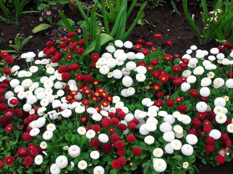 Röd vit blomma för n royaltyfri fotografi