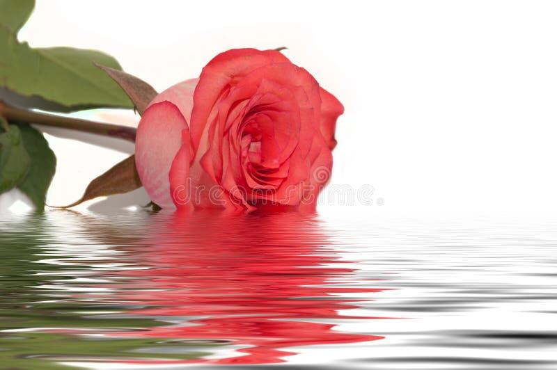 Röd vit för rosvattenreflexion royaltyfri bild