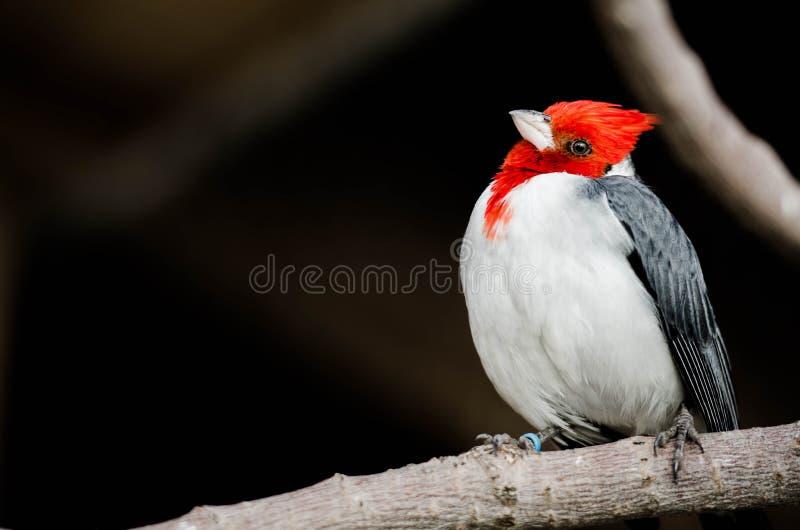 Röd vit- & svartfågel med det vippade på huvudet royaltyfria bilder