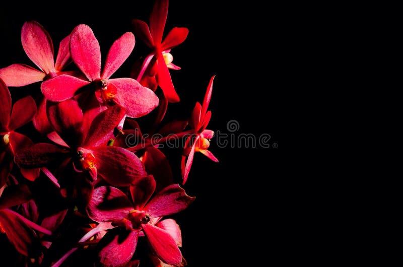 röd white för isoleringsorchid arkivbilder