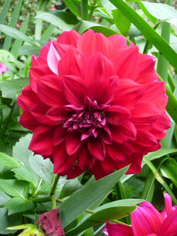 Röd wild blomma arkivfoton