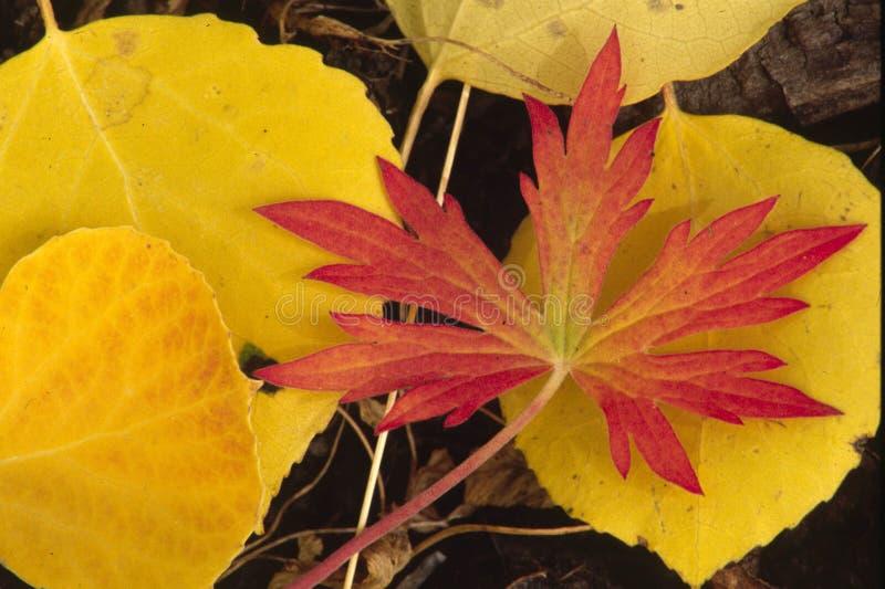 Download Röd yellow för höst arkivfoto. Bild av ensamt, fall, natur - 243058