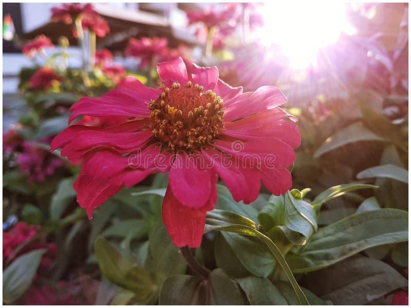 Röd Zinia blomma på parkera arkivbild