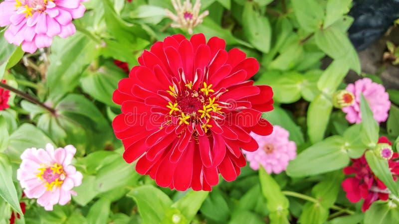 Röd zinniablomma fotografering för bildbyråer