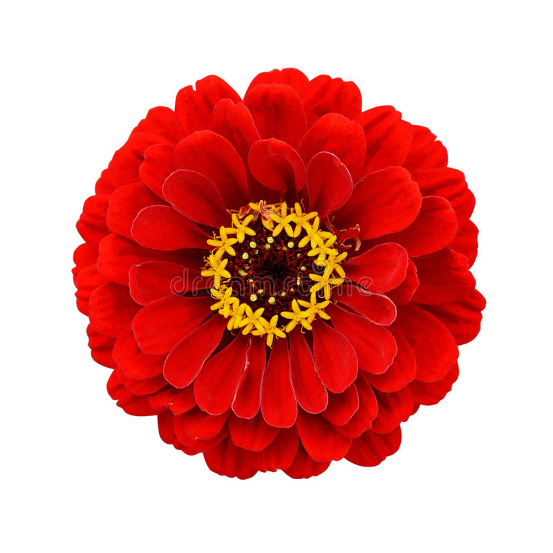 Röd zinniablomma royaltyfri foto