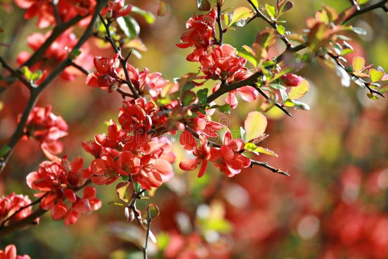 Röda äppleblomningar på trädfilial på våren arkivfoton