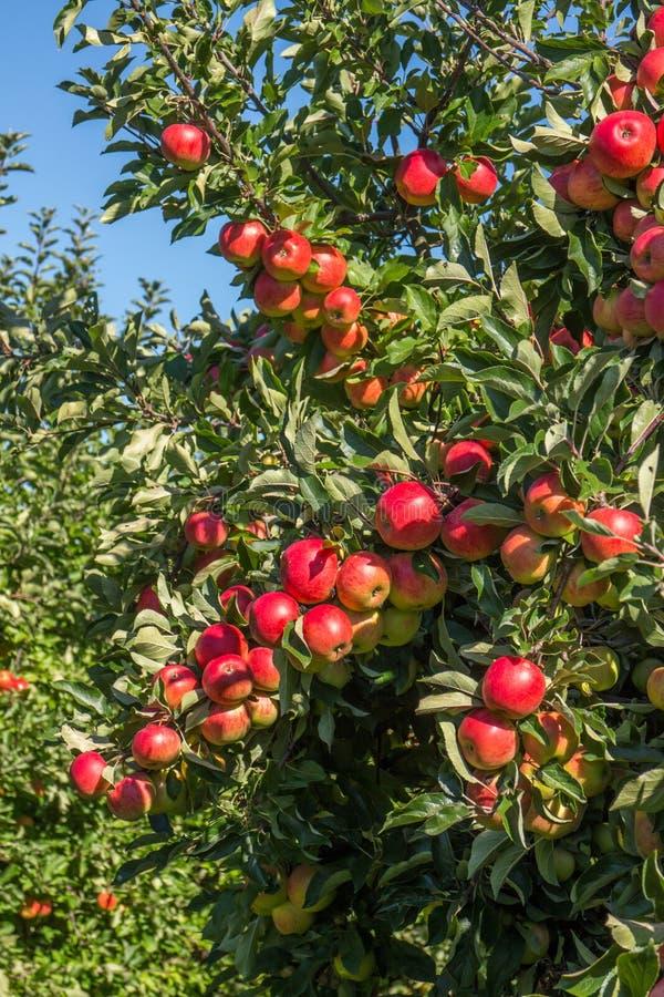 Röda äpplen i träd i fruktträdgård royaltyfri fotografi