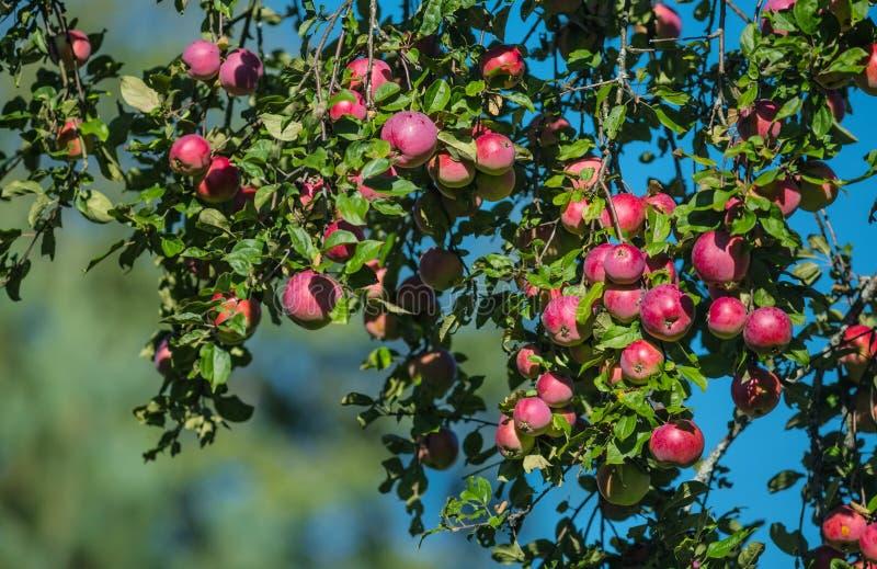 Röda äpplen på äppleträdfilial i trädgården arkivfoton