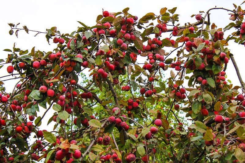 Röda äpplen på det Apple trädet, en sommarskörd fotografering för bildbyråer