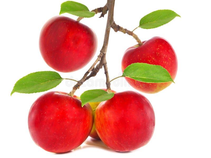 Röda äpplen på en filial arkivbilder