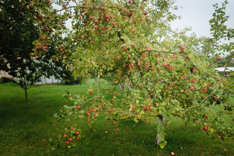 Röda äpplen på ett träd efter ett regn royaltyfri bild