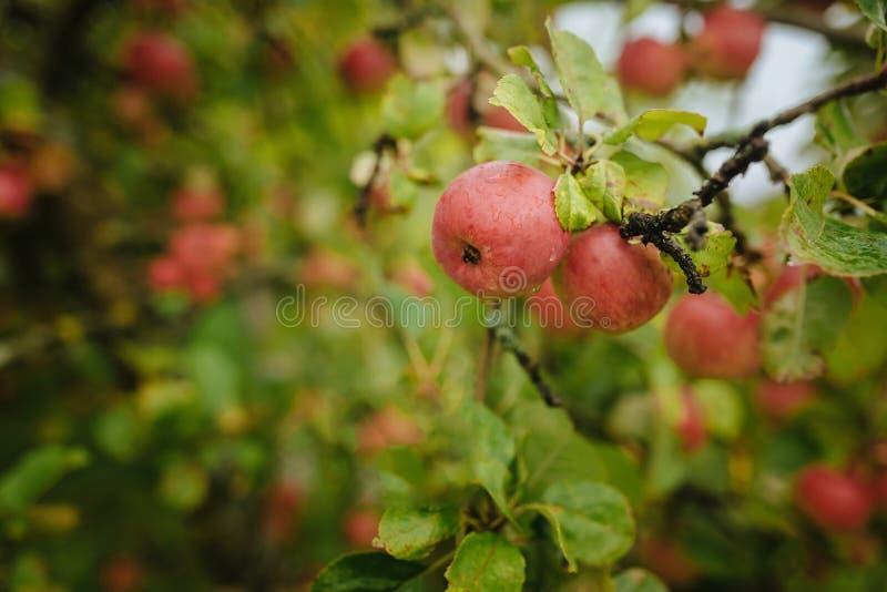 Röda äpplen på ett träd efter ett regn arkivbilder