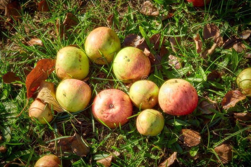 Röda äpplen på gräset under äppleträd Höstbakgrund - stupade röda äpplen på jordningen för grönt gräs i trädgård Apple i arkivfoto