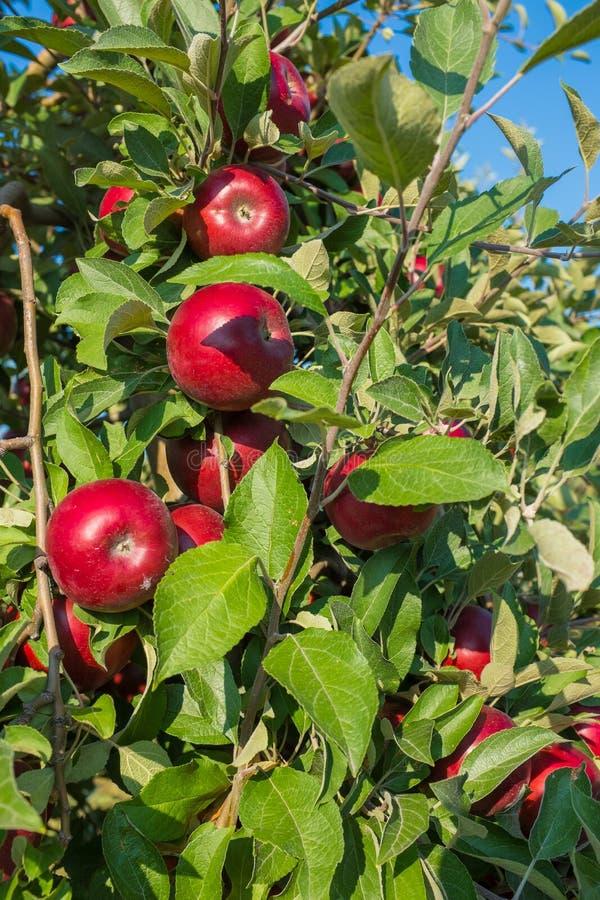 Röda äpplen på trädet arkivbild