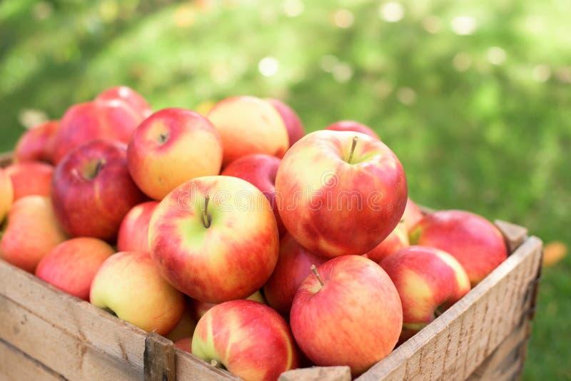 Röda äpplen stänger sig upp arkivfoto