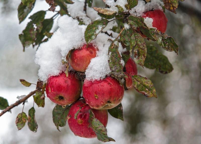 Röda äpplen under snön royaltyfri foto