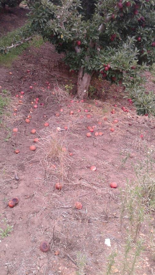 Röda äpplen under träd arkivbild