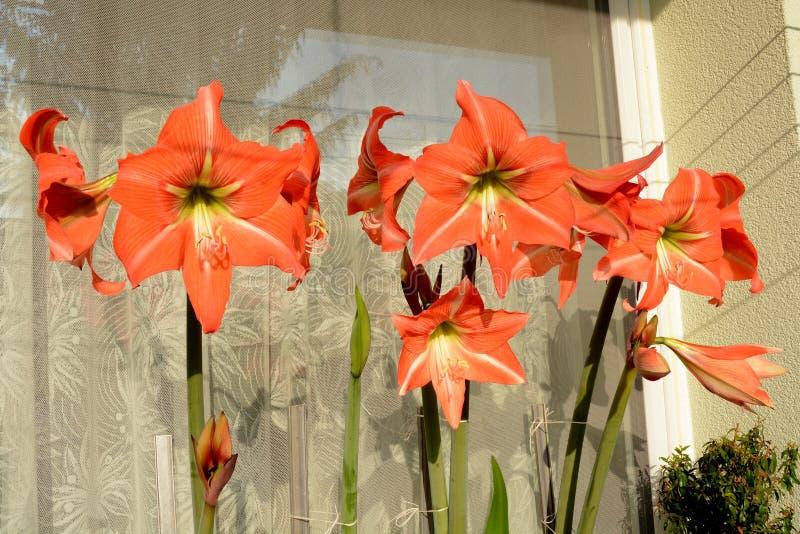 Röda amaryllisblommor Hippeastrum utanför fönstret royaltyfri foto