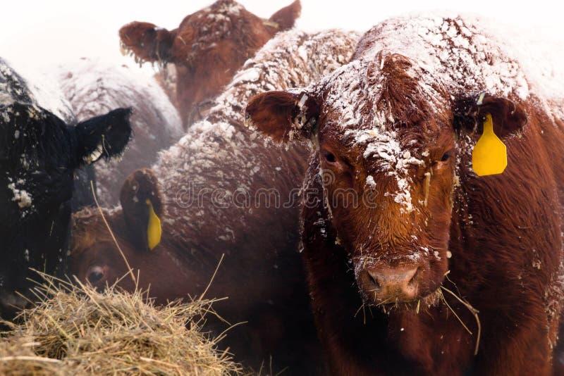 Röda Angus Cow på en snöig dag royaltyfria foton