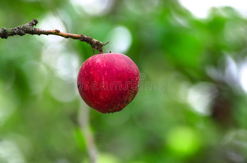 Röda Apple på en avlövad filial arkivbilder