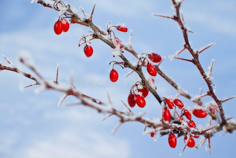 Röda bär av barberryen som täckas med rimfrost arkivbild